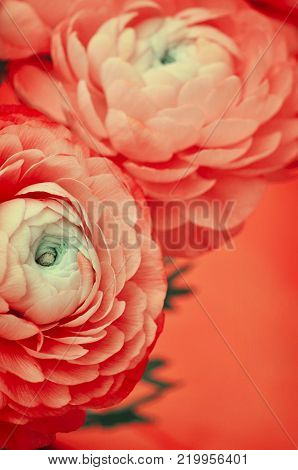Floral arrangement with ranunculus flowers on red background