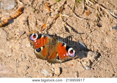 European Common Peacock butterfly (Aglais io, Inachis io) on the ground. First butterfly in spring