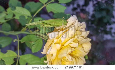 Green Tettigonia Viridissima Insect Sitting On Yellow Flower, The Great Green Bush-cricket Close Up