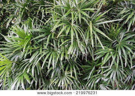 fresh green Rhapis excelsa tree in nature garden