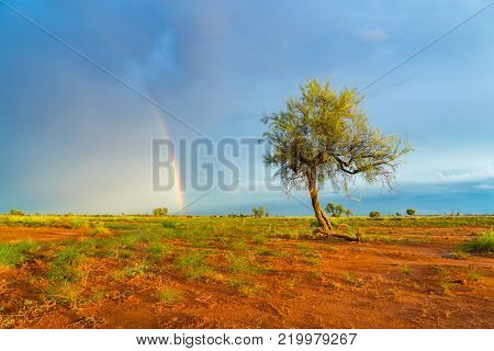 A lone Hakea tree during twilight hour in the Pilbara region of North Western Australia, near the mining towns of Marble Bar and Port Hedland.