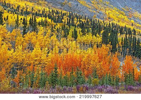 Beautiful Trembling Aspen Forest in prime autumn colors, along Alaska Highway near Teslin, Yukon  Canada