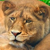 a young lion rests with its pride. poster