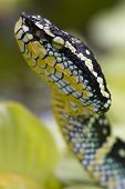 Temple pit viper raising it's head in the air poster