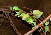 Flap Necked Chamaeleon camouflaged behind twigs and leaves poster
