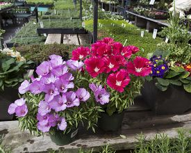 Two blooming Godetia (Clarkia amoena) in pots for sale in nursery.