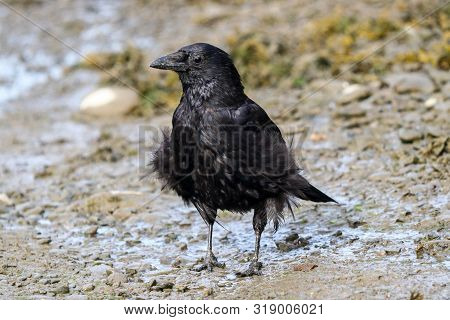An Adult Carrion Crow With Ruffled Feathers On A Windy Day