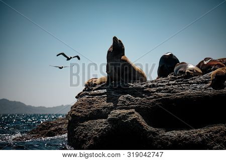 California Sea Lions (zalophus Californianus) Resting On The Rocks Of Isla Coronado. Baja California