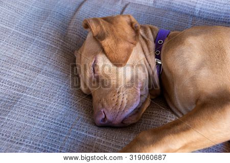 Portrait Of An Adorable Little Brown Puppy Vizsla And Its Foot Sleeping Comfortably And Relaxed Over