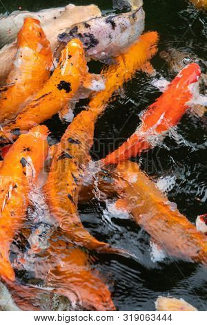 Photograph of many fish swimming side by side in fresh water