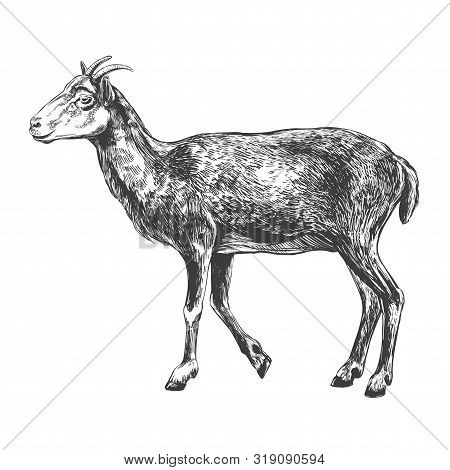Goat Hand Drawn Vector Illustration Realistic Sketch
