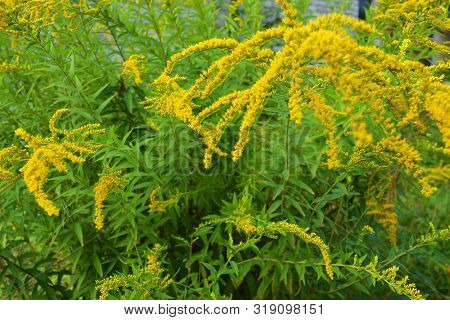 Bright Shrubs With Yellow Flowers, A Giant Golden Rod With Interesting Bloom, Solidago Gigantea, Tal