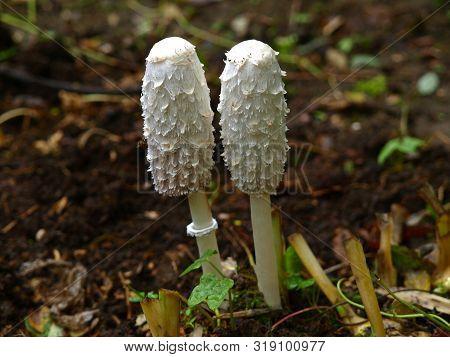 An Autumn Mashroom Season And Picking. Pair Of Coprinus Comatus Mashrooms