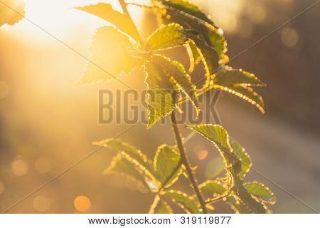 Sunrise In Nature Background. Bright Background Of Green Plant In Sunrise. Sunrise In Nature. Sun Ra