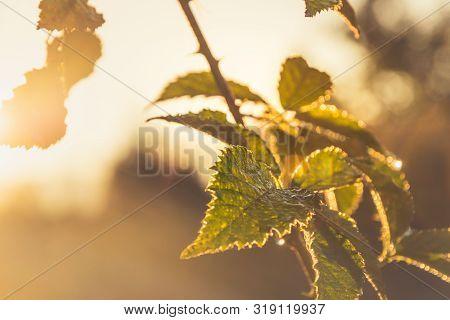 Sunrise In Nature Background. Bright Background Of Green Plant In Sunrise. Sunrise In Nature. Sun Ra