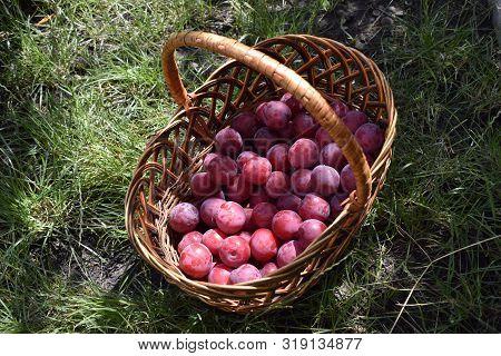 Closeup Picture Of Wickerwork Handbasket Full Of Fresh Juicy Riped Blue Plums From Organic Farming J