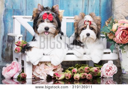 puppy biewer yorkshire terrier and flowers