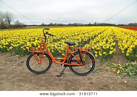 Orange bicycle from Holland at the flower fields in the Netherlands