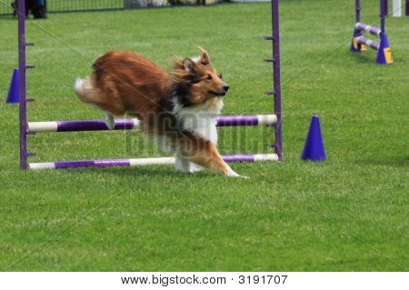 Sheltie Jumping