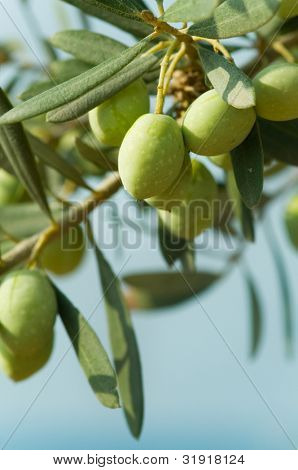Olives on a tree against blue sky