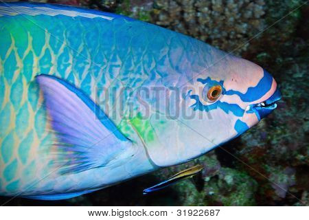 Variegated Makeup Of Parrot Fish
