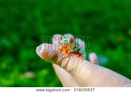 Agalychnis Callidryas (the Red-eyed Treefrog)  Is Sitting On Gloved Hands. Frog Is Going To Jump. Ex