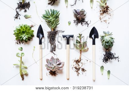 Planting A Succulent Plants With Gardening Tools On White Table, Flat Lay, View From Above. Gardenin