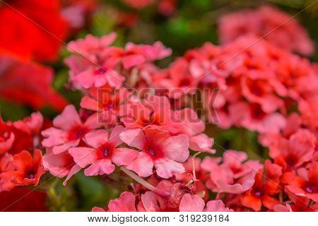 Red Pelargonium Or Geranium Flower In Summer Garden. Red Geranium Flowers On Blurred Background. Bri