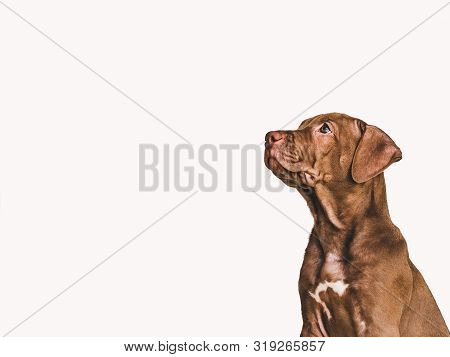 Young, Charming Puppy Of Chocolate Color. Closeup