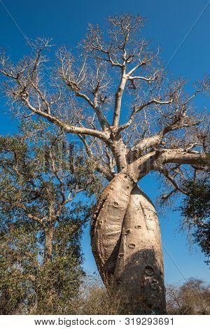 Baobab Amoureux, Two Baobabs In Love, Madagascar