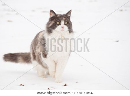 Diluted calico cat in snow, alertly looking into distance