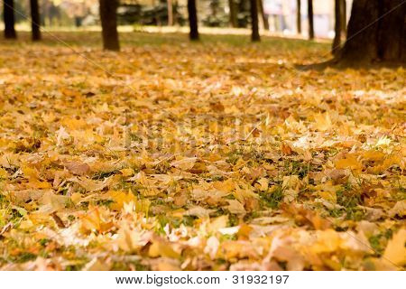 Mapple leaves in the beautiful autumn park