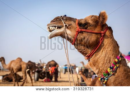 Camels at Pushkar Mela - famous annual camel and livestock fair in town of Pushkar. Pushkar Mela is one of world's largest camel fairs and an important tourist attraction. Puskhar, Rajasthan, India