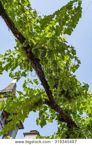 Street With Growing White Wine Grapes, Riesling Or Chardonnay Grapevines In Summer