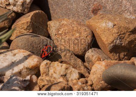 Pyrrhocoris Apterus. A Red-black Bug (beetle) Sits On Sunlit Stones. Insect Habitat, Entomology, Ins