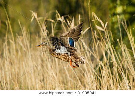 Flying female duck in Dutch Biesbosch nature