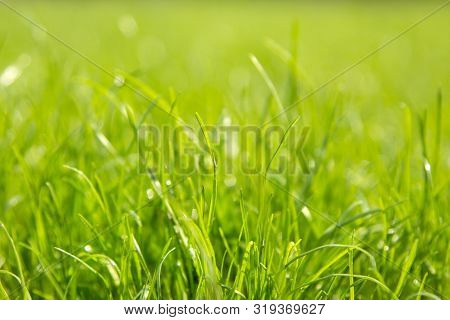 Green Juicy Grass Close-up. Background Of Green Young Grass. Green Grass Background.