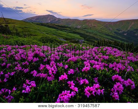 Pink Rose Rhododendron Flowers (close-up) On Early Morning Summer Mountain Slope And Pip Ivan Mount