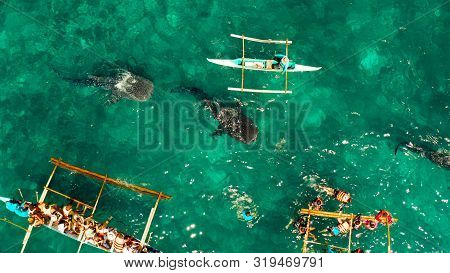 People Snorkeling And And Watch Whale Sharks From Above. Oslob, A Famous Spot For Whale Shark Watchi
