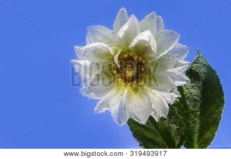 White Delicate Flower Of Chrysanthemum Under Water, Covered All Over With Bubbles Macro