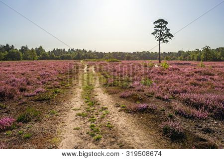Dutch Landscape With A Sandy Path And A Tall Pine Tree Between The Purple Flowering Heather. The Pho