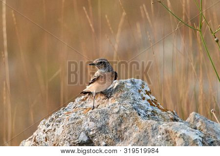 The Pied Wheatear Oenanthe Pleschanka Is A Wheatear, A Small Insectivorous Passerine Bird.