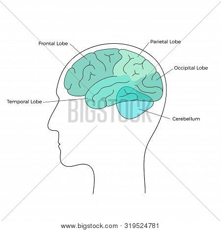 Vector Isolated Illustration Of Human Brain Anatomy. Occipital, Frontal, Parietal And Temporal Lobe.