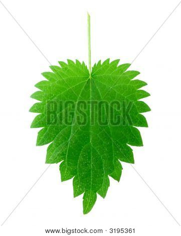 Isolated Nettle Leaf