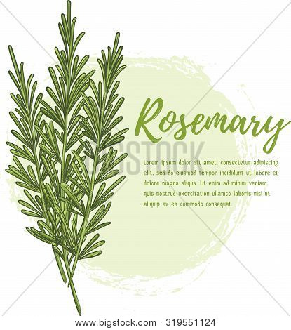 Fresh Rosemary Herb. Natural And Delicious Food Ingredient For Cooking. Aromatic Herbs And Spices. H