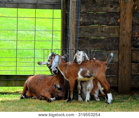 Group Of Four Goats Illustrate Companionship, Trust, Security And Family.  They Are Huddled Togather