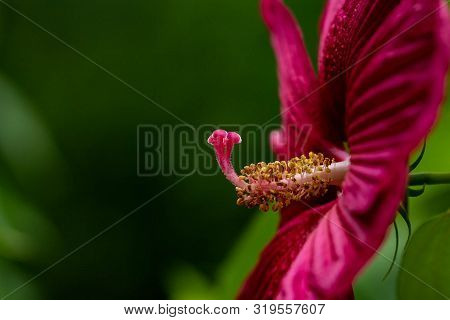Side View Of Stamina On Large Maroon Hibiscus