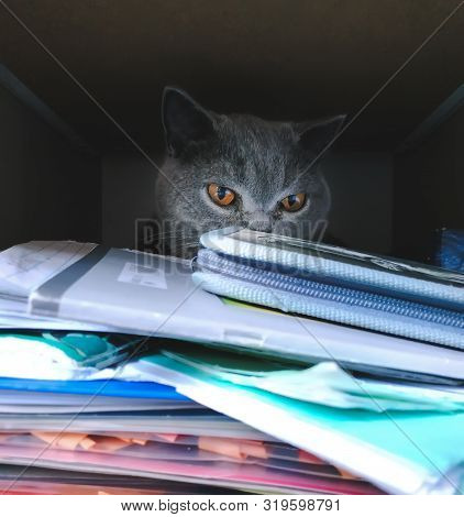 British Cat Hid And Relax In A Closet Among School Supplies