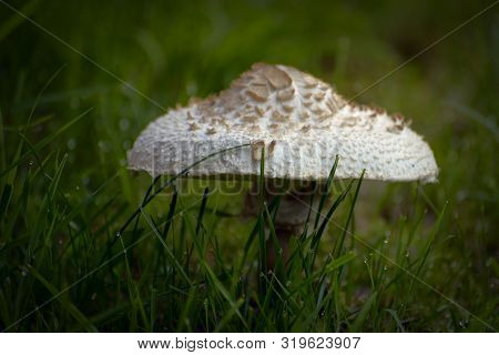 Edible Mushroom Parasol Mushroom (macrolepiota Procera) In Green Grass, Wet From Dew.
