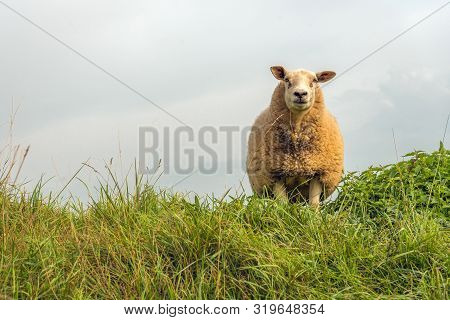 Portrait Of A Curiously Looking Sheep With A Thick Coat Against A Cloudy Sky. The Sheep Stands On To